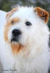 Shaggy is an adoptable Terrier Dog in Wellington, FL. Shaggy is a cute terrier mix with a scruffy spotted coat and waggy tail. He's a bit shy at first but anxious to please once he gets to know you. S...