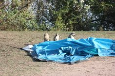 Monkey in lake Mburo National Park. #monkey  #wildlife #Uganda #nature #adventure #traveller #travellers #camping #campinglife #tent #animals