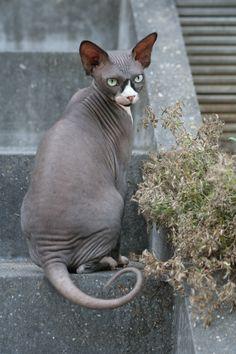 Beautiful Sphynx kitty =)