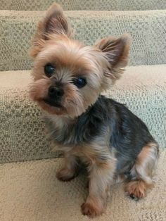 Puppies And Kitties, Cute Puppies, Cute Dogs, Doggies, Yorkie Cuts, Yorkie Hairstyles, Dog Haircuts, Yorky, Cute Dog Photos