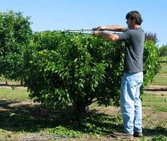Backyard Orchard Culture, Plant fruit trees close together and keep them very small to increase production. Great tips here to grow lots of fruit in a very small space! Fruit Garden, Garden Trees, Edible Garden, Vegetable Garden, Farm Gardens, Outdoor Gardens, Espalier, Growing Fruit Trees, Small Fruit Trees