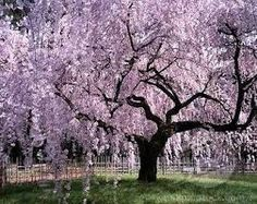 Image result for cherry willow tree