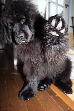 30 Best Dog Names For Floofy Newfoundland Dogs [PICTURES - What would you name a Newfoundland dog if you got one today? Cute Puppies, Cute Dogs, Dogs And Puppies, Doggies, Best Dog Names, Terra Nova, Newfoundland Puppies, Big Dog Breeds, Fluffy Dogs
