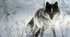 Winter wolf!