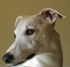 Deep Ribsy Whippet thoughts