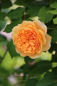 English rose with beautiful rosette shape
