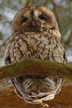 Tawny Owl - hello down there | by MOZBOZ1