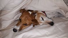 Janie, left, (formerly Molly of GA JRT rescue) is enjoying some snuggle time with her brother, Russell Crowe. (Yes, we all LOVE that name) We could not be happier for her in her little slice of heaven with her fabulous forever family.  Her daughter or sister (never found out which), Polly, is still with us at rescue and waiting to find her piece of paradise. Meet Polly on www.jackrusselladoptions.org #dog #atlanta #jrt #jackrussell #rescuedogs #rescuedogsofinstagram #rescued