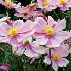 anemona japónica, bella y rustica.