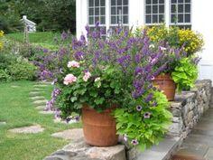 purple supertinea, ping geraniums blue bacopa, sweet caroline sweet pot. vine and purple angelonia