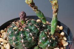 Gy. Mesopatanicum f1 | da Hibisco1