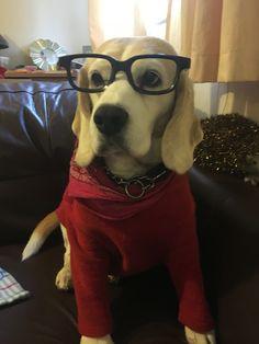 Beagle geek