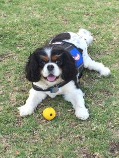 Image of: Airlines My Cavalier King Charles Spaniel Abby She Is Service Dog She Loves To Play Ball And Play With Her Friends Here At Cal Poly The Mighty 31 Best Abby Images Service Dogs Cavalier King Charles King