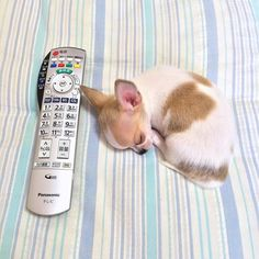 Lazy Sunday's are my favorite via @tora_tama Send your favorite pictures to be featured to luvchihuahuas247@gmail.com #chihuahua #chihuahuasofinstagram #chihuahualove #chihuahualife #cutechihuahuas #chihuahuafanatics #puppy #cute #chilove #chihuahuaoftheday #cutedoggy #chihuahualover #woof #dogsofinstagram #puppylove #puppies #doglovers #chihuahuas #ilovedogs #instadog #pets #teacupchihuahuas #instachihuahuas #ilovemychihuahua #dogoftheday #furbaby #chihuahualove #teacupchihuahuasofinstagram…