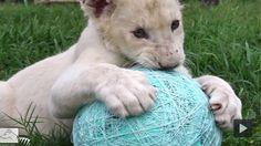 Lion Cub Kwanza Loves His Ball Of Yarn  #LionCub
