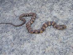Louisiana Snakes Chart