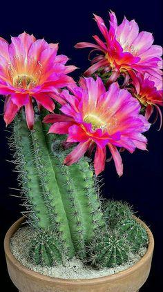 Cacti And Succulents, Cactus Plants, Desert Plants, Cactus Flower, Orchids, Arizona, Fancy, Studio, Flowers