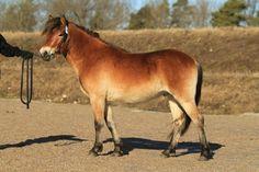 Gotland Pony - stallion Klints Eros (Kanalje - Milma - Bokar) | Gotlandsruss iFokus