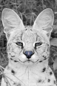 Dude...seriously...that face... <3 servals.