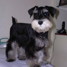 Schnauzer puppy, Sam  www.facebook.com/Sam.schnauzer