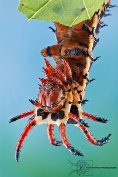 Hickory horned devil - Citheronia regalis by Colin Hutton Photography,