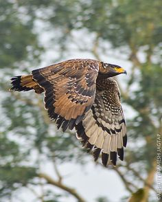 Crested serpent eagles have a very wide distributional range across the Indian Subcontinent, South Wast Asia and East Asia. Beautiful Birds, Animals Beautiful, Cute Animals, Natural Ecosystem, Three Birds, Birds Of Prey, Flying Birds, Bird Artwork, Wild Birds