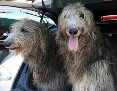 The Scottish deerhound is an athletic, courageous and loyal breed of relatively large size. Find out why owning one of these dogs can be so rewarding. Skye Terrier, Irish Terrier, Pitbull Terrier, Loyal Dog Breeds, Loyal Dogs, English White Terrier, Scottish Deerhound, Irish Wolfhounds, Wolfhound Dog