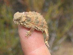 Phrynosoma coronatum; Coast Horned Lizard