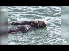 FaunaView: Sea Otter - Zeeotter - YouTube