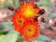 Jestřábník chlupáček (Hieracium pilosella) Herbalism, Plants, Roses, Flora, Plant, Herbal Medicine, Planting