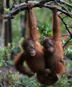 Two orangutan babies play together in the trees at the sanctuary on Bangamat Island