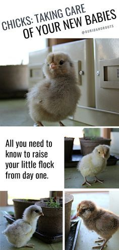 How to take care of new baby chicks. All you need for new baby chicks. Scratch and Peck feeds. Raising Backyard Chickens, Baby Chickens, Keeping Chickens, Backyard Farming, Silkie Chickens, Chicken Garden, Backyard Chicken Coops, Day Old Chicks, Diy Chicken Coop Plans