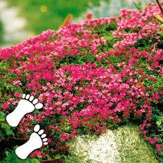 Polsterthymian   z.B. für die Mauerbepflanzung