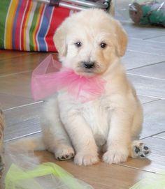 Precious Labradoodle Puppy!