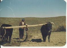 Cow, Turkey, Animals, Animaux, Animal, Animales, Animais