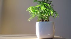 Thinking of adding some houseplants inside your RV? Check out our list of the best indoor houseplants to keep alive and thrive in your RV while on your travels. View the list now! Indoor Bamboo, Indoor Plants, Foliage Plants, All Plants, Amazing Gardens, Beautiful Gardens, Best Office Plants, Best Air Purifying Plants, Bamboo Care