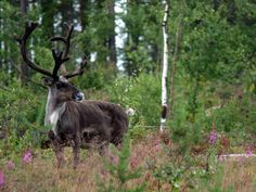 Aurora Retreat Wilderness Camp, Lapland, Sweden. Our WWOOF volunteers ran into this handsome fellow on a recent hike in the forest http://www.organicholidays.co.uk/at/1952.htm