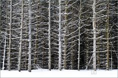 Photo Of Tree Trunks In Winter. Stock Photo To Download at ...