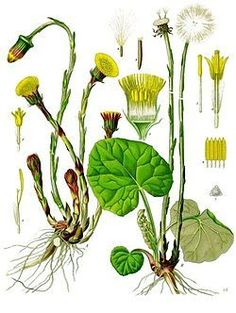 Tussilago Farfara - Coltsfoot - beneficial for lung issues Herbal Plants, Medicinal Plants, Fruit Plants, Edible Plants, Botanical Flowers, Botanical Prints, Flower Catalogs, Impressions Botaniques, Illustration Botanique