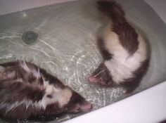 pet skunks