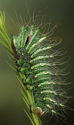 Chinese Comet Moth caterpillar