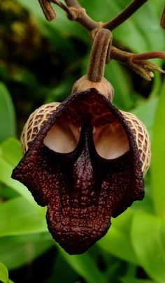 The flower Aristolochia salvador platensis seems a bit like Darth Vader from Star Wars!