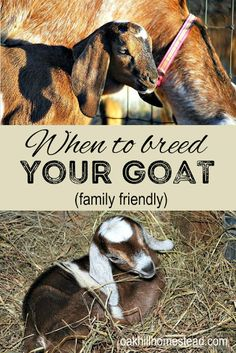 """When summer mornings begin to turn cooler, """"the rut"""" (goat breeding season) begins. So when should you breed your dairy goat? Here are several things to consider when you make your decision. Breeding Goats, Big Dog House, Nubian Goat, Goat Care, Boer Goats, Nigerian Dwarf Goats, Raising Goats, Goat Farming, Wild Dogs"""