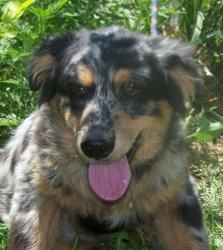 Austin is an adoptable Australian Shepherd Dog in Sedalia, MO. Austin is 4 mos. old and ooh so sweet. He gives the best hugs. He has that great Aussie temperament you just can't go wrong with. If inte...