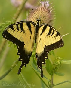 """The best nectar"" (Swallowtail Butterfly) by Brendahawk on flickr"