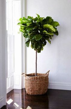 ON TREND - The Fiddle Leaf Fig – House of Hamptons