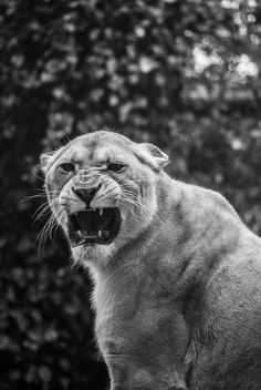 Angry big Cat