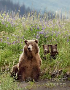 Brown bears with twin cubs Lake Clark Nationa Park. Bear Photos, Bear Pictures, Animal Pictures, Bear Tattoos, Ship Tattoos, Arrow Tattoos, Word Tattoos, Alaskan Brown Bear, The Bear Family