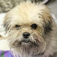 Pin By T Press On Shih Tzus Up For Adoption Shih Tzu Pets Pet