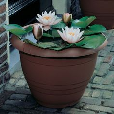 Learn more about Water lily (Nymphaea) at little pot. I didn't know you could grow these beau...